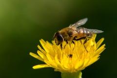 Eine Biene auf einer Blume Stockfotografie