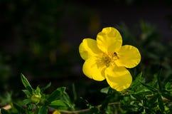 Eine Biene auf einer gelben Blume Stockbild