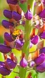 Eine Biene auf einer purpurroten Flammenblume Stockbild