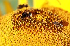 Eine Biene auf einer Sonnenblume in Ukraine Lizenzfreies Stockbild