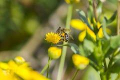 Eine Biene auf gelber Blume Stockfotos