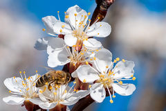 Eine Biene, die auf Aprikose blosson bestäubt Lizenzfreies Stockbild