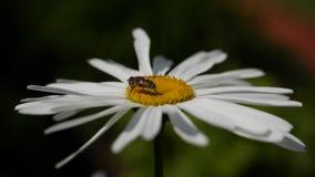 Eine Biene, die auf einer Gänseblümchenblume an einem sonnigen Tag sitzt Kamille, die in den Wind im schönen Wetter beeinflußt Na stock video footage