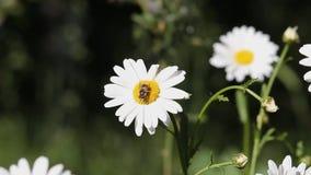 Eine Biene, die auf einer Gänseblümchenblume an einem sonnigen Tag sitzt Kamille, die in den Wind im schönen Wetter beeinflußt Na stock video
