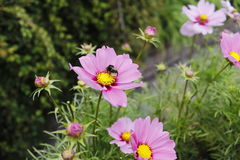 Eine Biene, die auf einer rosa Blume sitzt lizenzfreie stockfotografie