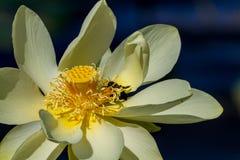 Eine Biene, die Blütenstaub in schönen amerikanischen gelben Lotus Flower und in Lily Pads auf Wasser erfasst. Lizenzfreie Stockfotos