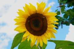 Eine Biene, die Blütenstaub von einer Sonnenblume erntet lizenzfreie stockbilder