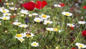 Eine Biene, die an Blumensaat-mohn- und -gänseblümchenfeld arbeitet lizenzfreie stockfotografie