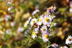 Eine Biene, die eine weiße Blume bestäubt Lizenzfreie Stockfotos