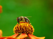 Eine Biene, die einen Nektar aufhebt Lizenzfreie Stockfotografie