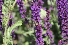 Eine Biene, die einen Stiel des Lavendels bestäubt, blüht stockfotos