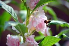 Eine Biene, die Honig von der schönen rosa Blume in meinem Garten sammelt Stockfotografie