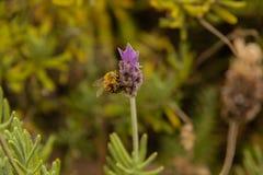 Eine Biene, die eine Lavendelblume küsst stockbild
