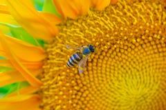 Biene und Sonnenblume 02 Stockfoto
