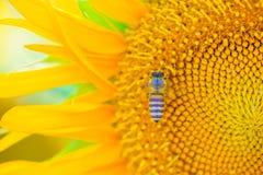 Biene und Sonnenblume 01 Stockbild