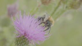 Eine Biene, die Nektar von der purpurroten Kosmosblume, Makro sammelt stock video