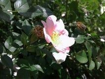 Eine Biene ist ein Faktotum auf einer Blume Rosa Blumen von wildem stiegen Empfindliche Blumenblätter einer wilden Rose Gelbe Sta lizenzfreie stockfotos