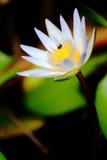 Eine Biene mit Lotus Stockbild