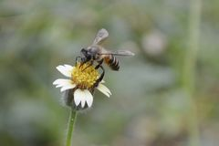 Eine Biene sammelt den Honig stockbild