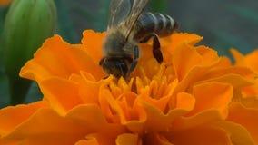 Eine Biene sammelt Nektar auf der Blume Tagetes stock footage