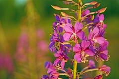 Eine Biene sammelt Nektar von kiprei Blumen lizenzfreie stockbilder
