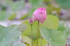 Eine Biene schwebt über einer Lotus-Blume in Thailand stockfotos