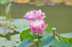 Eine Biene schwebt über einer Lotus-Blume in Thailand lizenzfreie stockfotografie