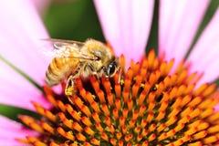 Eine Biene und ein Echinacea purpurea Nahaufnahme Stockbilder