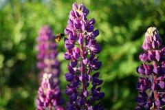 Eine Biene, welche die Ritterspornblume besucht stockbilder