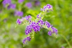 Eine Bienenfütterung der Blütenstaub der Himmel-Blume Stockfotos