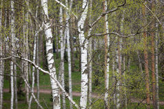 Eine Birke ist im Frühjahr mit grünen Blättern Stockfotos
