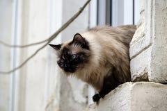 Eine birmanische Katze Stockfotografie