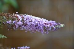 Eine blühende lila Niederlassung während des Sommers in Großbritannien Stockfotografie