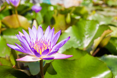 Eine blühende Lotosblume lizenzfreies stockbild