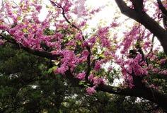 Eine blühende Niederlassung des Mandelbaums im Frühjahr Foto des blühenden Baumbrunchs mit rosa Blumen Lizenzfreie Stockfotos