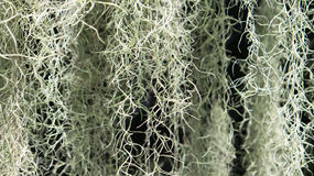 Eine blühende Pflanze: Spanisches Moos (Tillandsia usneoides) Stockfotos