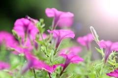Eine blühende purpurrote Windenblume Lizenzfreies Stockfoto