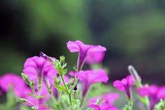 Eine blühende purpurrote Windenblume Stockfotos