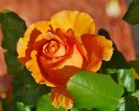 Eine blühende rosafarbene Blume der Orange Lizenzfreie Stockfotos