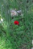 Eine blühende rote Anemone der Blume des Frühlinges unter Steinen Lizenzfreie Stockfotografie