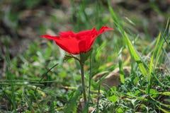 Eine blühende rote Anemone der Blume des Frühlinges unter Steinen Lizenzfreie Stockfotos