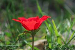 Eine blühende rote Anemone der Blume des Frühlinges unter Steinen Lizenzfreies Stockfoto
