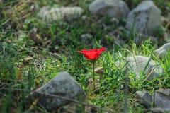 Eine blühende rote Anemone der Blume des Frühlinges unter Steinen Stockfotos
