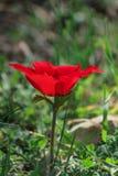 Eine blühende rote Anemone der Blume des Frühlinges unter Steinen Stockbilder