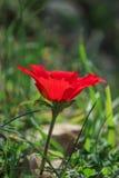 Eine blühende rote Anemone der Blume des Frühlinges unter Steinen Lizenzfreies Stockbild