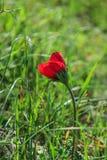 Eine blühende rote Anemone der Blume des Frühlinges unter Steinen Stockfoto