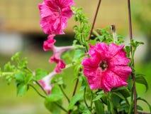 Eine blühende rote Blume in den Töpfen Blühende Petunie lizenzfreies stockfoto