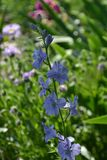 Eine blaue Blume Lizenzfreies Stockbild