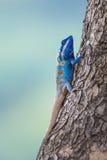 Eine blaue Eidechse auf dem Baum Lizenzfreies Stockfoto