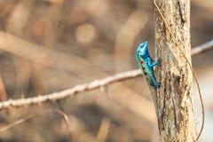 Eine blaue Eidechse, die auf dem getrockneten Baum hockt Lizenzfreie Stockbilder